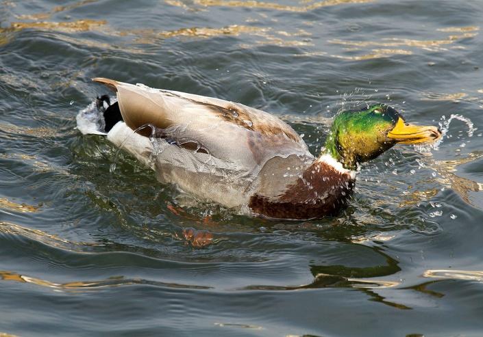 WaterDuck