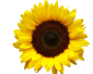 marisa-lerin-sunflower-asset-b