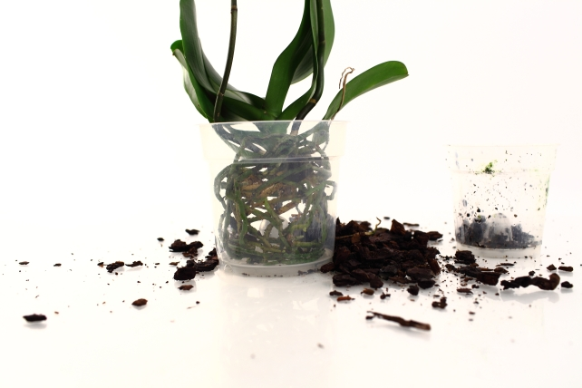 repotting orchid