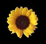 sunflower_png_by_adagem-d6n0t3z