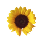 sunflower_png_by_adagem-d6n0t3z