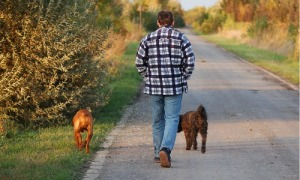 man walking 2 dogs stock